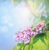 La lila florece sobre fondo del cielo azul con luz del sol y bokeh Imagen de archivo libre de regalías