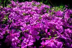 La lila floreciente florece en el jardín debajo del sol brillante Imagenes de archivo