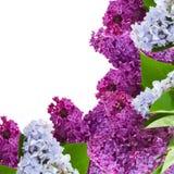 La lila fresca florece el marco Foto de archivo