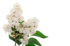La lila ligera florece, ramifica y las hojas aisladas en el fondo blanco con el espacio de la copia para su texto Endecha plana V Foto de archivo libre de regalías