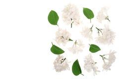 La lila ligera florece, ramifica y las hojas aisladas en el fondo blanco con el espacio de la copia para su texto Endecha plana V Fotografía de archivo libre de regalías