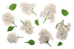 La lila ligera florece, ramifica y las hojas aisladas en el fondo blanco Endecha plana Visión superior Imágenes de archivo libres de regalías