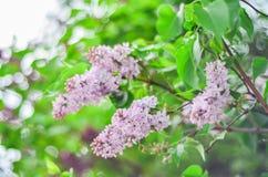 La lila púrpura de la rama hermosa florece al aire libre Foto de archivo libre de regalías