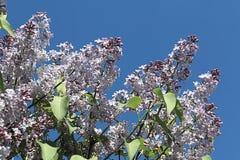 La lila se alineó en fila imágenes de archivo libres de regalías