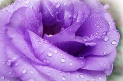 La lila subió con descensos del rocío imágenes de archivo libres de regalías