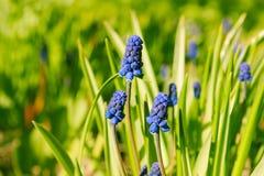La liliaceae della famiglia della cipolla del Muscari o giacinto murino, o della vipera è Fotografie Stock