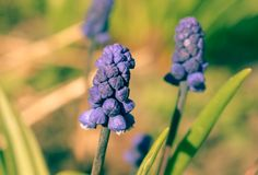 La liliaceae della famiglia della cipolla del Muscari o giacinto murino, o della vipera è Fotografia Stock Libera da Diritti