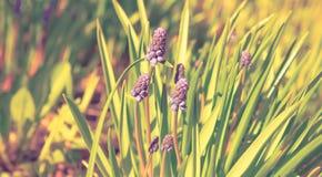 La liliaceae della famiglia della cipolla del Muscari o giacinto murino, o della vipera è Fotografie Stock Libere da Diritti