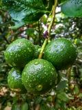 La limetta o il limone sull'albero con le gocce di pioggia inumidisce immagine stock
