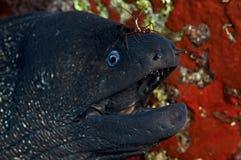 La limpieza roja del camarón moreen foto de archivo libre de regalías