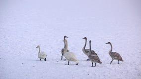 La linea dei cigni nella neve Fotografia Stock