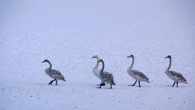 La linea dei cigni nella neve Immagine Stock Libera da Diritti