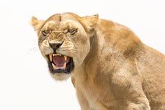 La lionne affiche les dents dangereuses Photo libre de droits