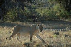 La lionne chasse dans la savane photographie stock libre de droits