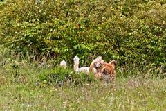La lionne du Kenya Photos libres de droits