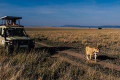 La lionne marche après des personnes sur le safari image libre de droits