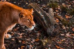 La lionne pense à l'avenir attentif dans la perspective du feuillage d'automne dans le zoo de Kaliningrad, foyer mou image stock