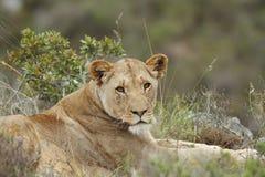 La lionne regarde dans l'appareil-photo Photographie stock