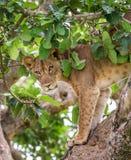 La lionne se cache dans les feuilles d'un grand arbre l'ouganda La Tanzanie Images stock