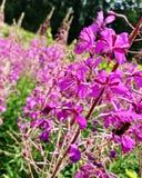 La lisimaquia floreciente de la flor de las demostraciones coloridas de la foto Foto de archivo