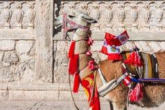 La llama con los peruvian señala Arequipa por medio de una bandera Perú Imagen de archivo libre de regalías