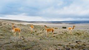 La llama es un camelid suramericano domesticado, ampliamente utilizado como una carne y animal de paquete por las culturas andina imagen de archivo