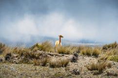 La llama es un camelid suramericano domesticado, ampliamente utilizado como una carne y animal de paquete por las culturas andina foto de archivo libre de regalías