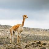 La llama es un camelid suramericano domesticado, ampliamente utilizado como una carne y animal de paquete por las culturas andina foto de archivo