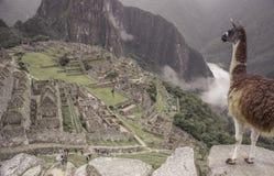 La llama que admira la vista de Machu Picchu en Perú fotografía de archivo libre de regalías