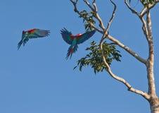 La llegada de los Macaws del vuelo Fotografía de archivo libre de regalías