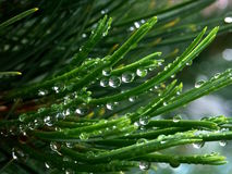 La lluvia cae agujas Imágenes de archivo libres de regalías