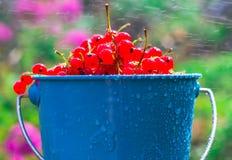 La lluvia del verano del cubo de la fruta de la pasa roja cae el agua Imagenes de archivo