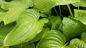 La lluvia rara cae caída para mojar las hojas verdes Brillo mojado del follaje de gotas de agua Belleza del tiempo lluvioso del v almacen de metraje de vídeo