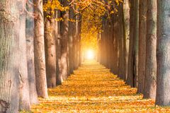La longue avenue des arbres perce un tunnel avec l'automne de bancs en automne photos stock