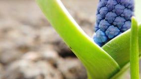 La longueur de belles fleurs bleues de jacinthe de raisin d'amidon fleurissent au printemps jardin banque de vidéos