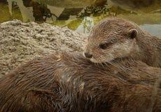 La lontra Fotografia Stock