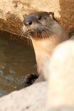La lontra di fiume attacca il suo si dirige Immagine Stock