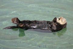 La lontra di mare della California Immagini Stock Libere da Diritti