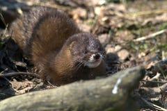 La lontra euroasiatica o la lontra europea fotografia stock