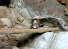 La lontra mangia i pesci Immagini Stock Libere da Diritti