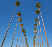 LA Los Angeles palm trees in a row typical California Stock Image
