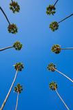 LA Los Angeles palm trees in a row typical California. Washingtonia filifera Royalty Free Stock Photos