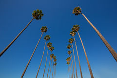 LA Los Angeles palm trees in a row typical California. Washingtonia filifera Royalty Free Stock Photography
