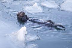 La loutre de mer d'Alaska fend des coquillages flottant les poissons animaux de faune Image stock