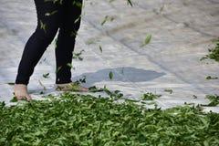 La luce del giorno appassisce delle foglie di tè Fotografie Stock