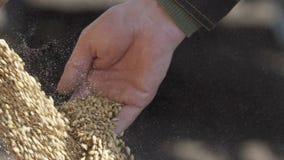 La luce del giorno del movimento lento ha sparato dei grani di grano che cadono dal trattore Grano del grano che cade dalle mani  archivi video