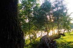 La luce del sole attraverso gli alberi Fotografie Stock