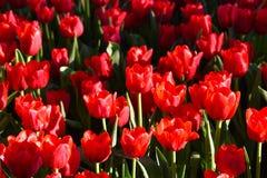 La luce del tulipano di mattina Fotografia Stock Libera da Diritti