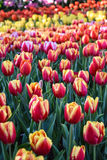 La luce del tulipano di mattina Immagini Stock