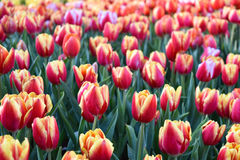 La luce del tulipano di mattina Fotografie Stock Libere da Diritti